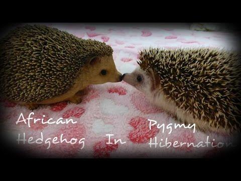 African pygmy hedgehog hibernation! - YouTube