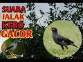 Suara Burung Jalak Kebo Gacor  Mp3 - Mp4 Download