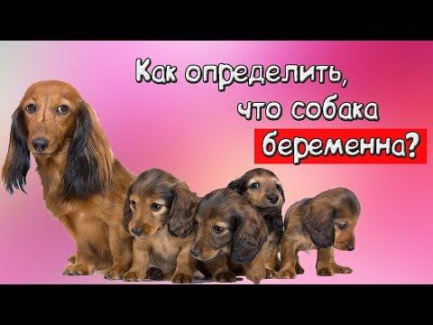 Как понять что собака беременна