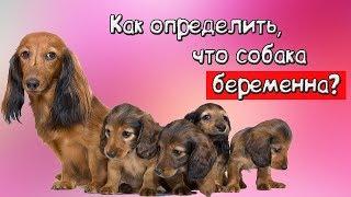 Как определить, что собака беременна?
