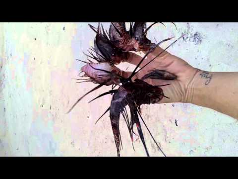 Lionfish Hunter :Gynna Lionfish Hands