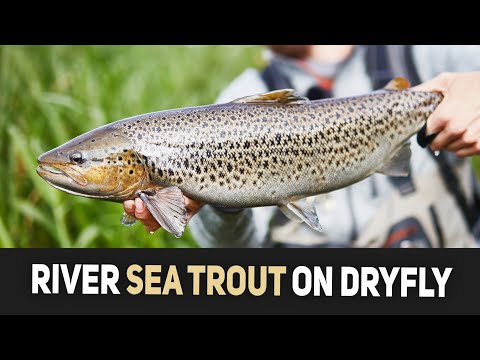 Sea Trout On Dry Fly (skumbille) - River Fishing In Denmark