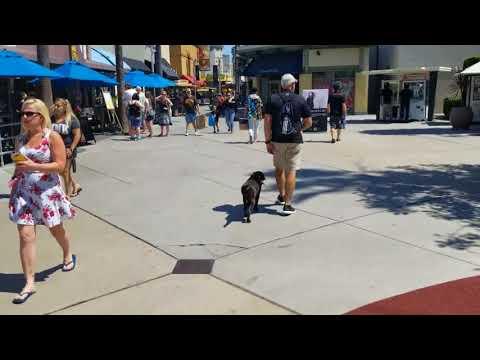 Trigger | Chocolate American Labrador | Laguna Niguel, CA