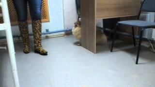 Боня до операции - Ветеринарная клиника
