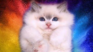 Rosey Ragdoll Kitten From Birth To 12 Months