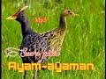 Suara Pikat Burung Ayam Ayaman Mantap Bersih Dan Jernih  Mp3 - Mp4 Download