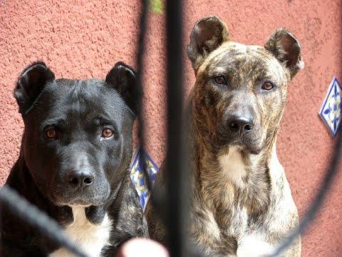 Uruguayan Cimarron (Cimarrón Uruguayo) - Dog Breed