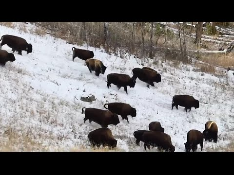 Montana Tribe says state, feds delaying transfer of Yellowstone bison