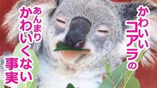 オーストラリアのアイドル的動物といえばコアラ。愛らしい見た目、ゆっ...