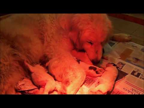 LITTER Z5 - 13 HOURS OLD - LA BORDA D'URTX - PYRENEAN MOUNTAIN DOGS