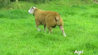Ram lamb Rockdale Vespasian that sold for €7,500 last weekend