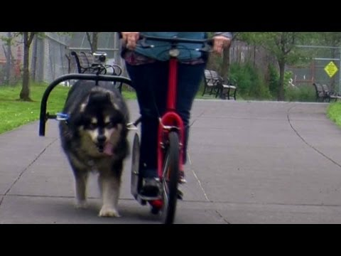 ride on a dog powered scooter youtube. Black Bedroom Furniture Sets. Home Design Ideas