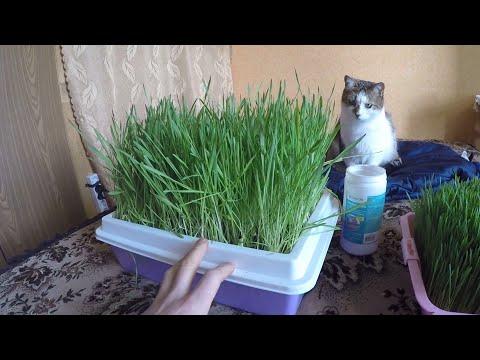 Как вырастить пшеницу без земли
