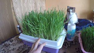 Как вырастить пшеницу дома без земли.Трава для кота или Витграсс .