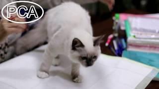 Кот Священная бирма окраса блю-пойнт ДЖОЗЕФ БЕЛЫЕ ЛАПКИ