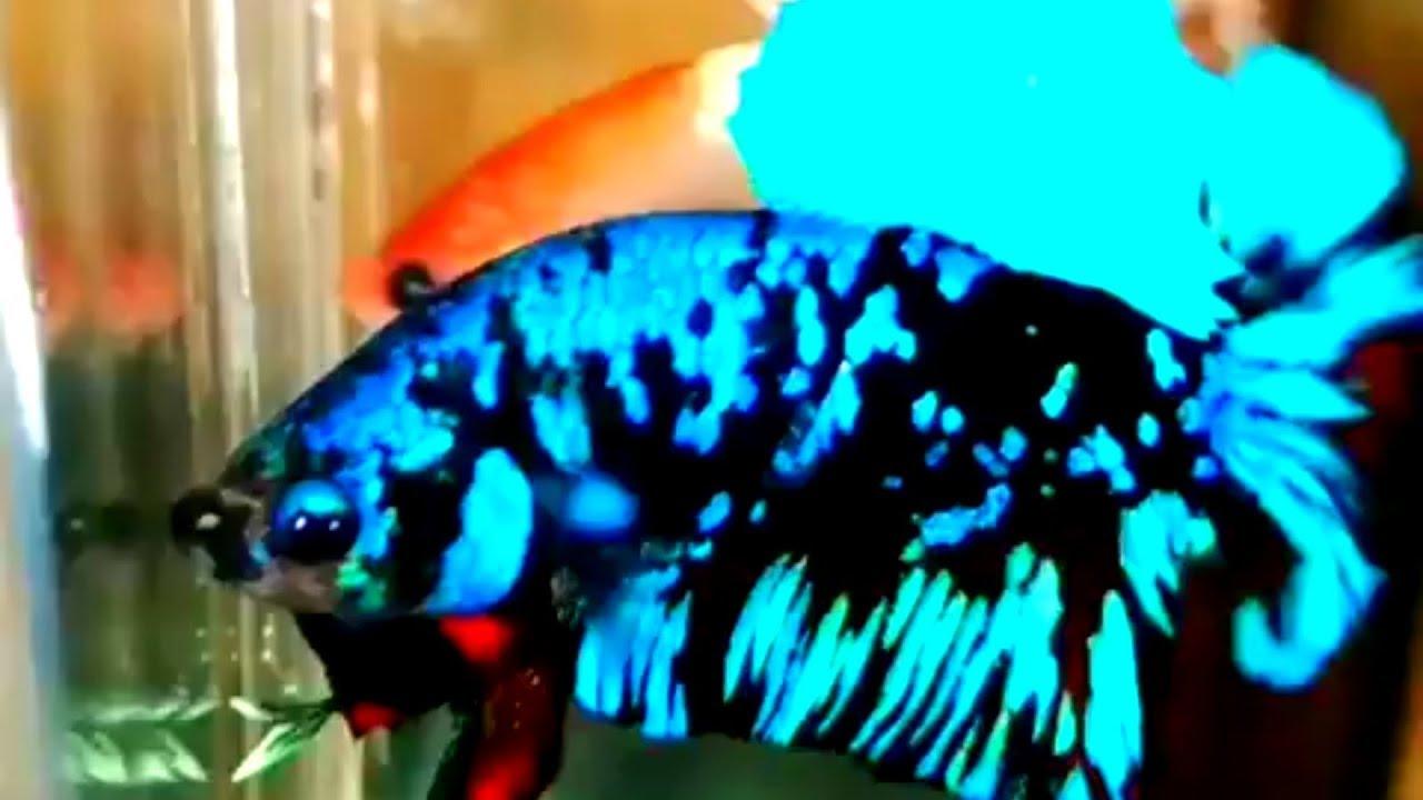 Ikan Cupang Plakat Black Avatar Black Avatar Koleksi Terakhir Youtube