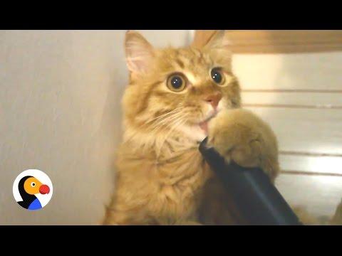 Cat Loves Vacuum  | The Dodo