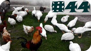 #44 - Drób ozdobny (gęsi, indyki, kury, kaczki, perliczki)
