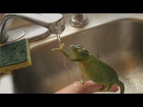 Chameleon Washing Her Hands Too