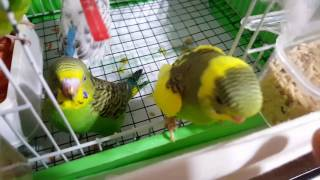Muhabbet Kuşu. Ele Alıştırma Eğitim #3