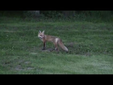 Red Fox Hunting Rodents In My Back Yard Here In NW Missouri