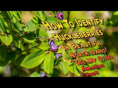 How To Identify Huckleberries What A Huckleberry Bush Looks Like Huckleberry Picking North Idaho Youtube