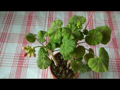 Пеларгония старые цветоносы тормозят дальнейшее цветение