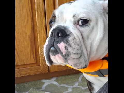 english bulldog life jacket youtube