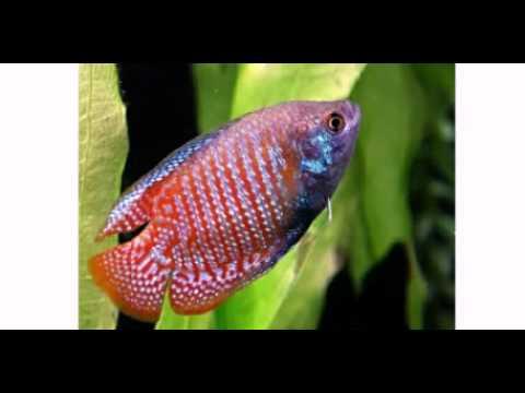 Los peces mas coloridos de agua dulce youtube for Peces agua dulce