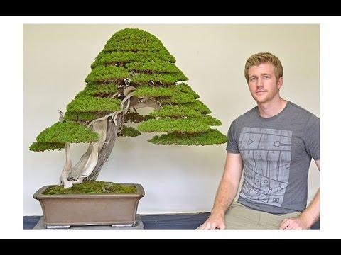 Как выглядит дерево бонсай