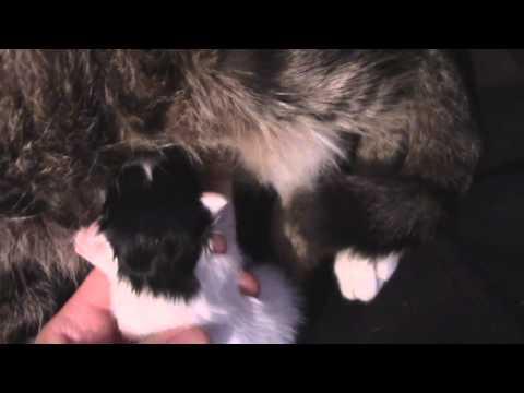 funny-animals.-breastfeeding-a-newborn-kitten