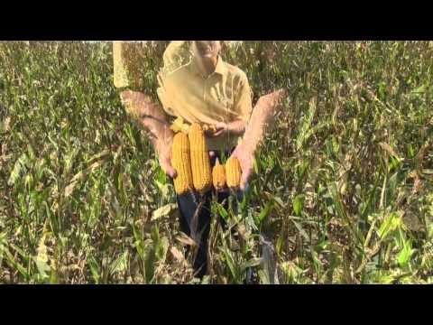 Effects of Excessive and Persistant Rainfall During Rapid Corn Growth