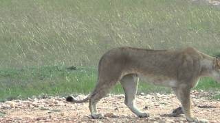 Lions - African Safari