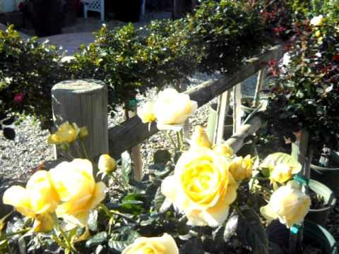 Walking On Sunshine 24 Inch Patio Tree Rose