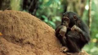Chimpanzee Primate socio-ecology  (II) Dr. McGrew