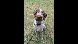 Peanut - 7 Month Old German Wirehaired Pointer - 2 Weeks Residential Dog Training