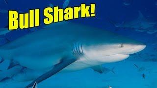 Bull Sharks | SHARK ACADEMY