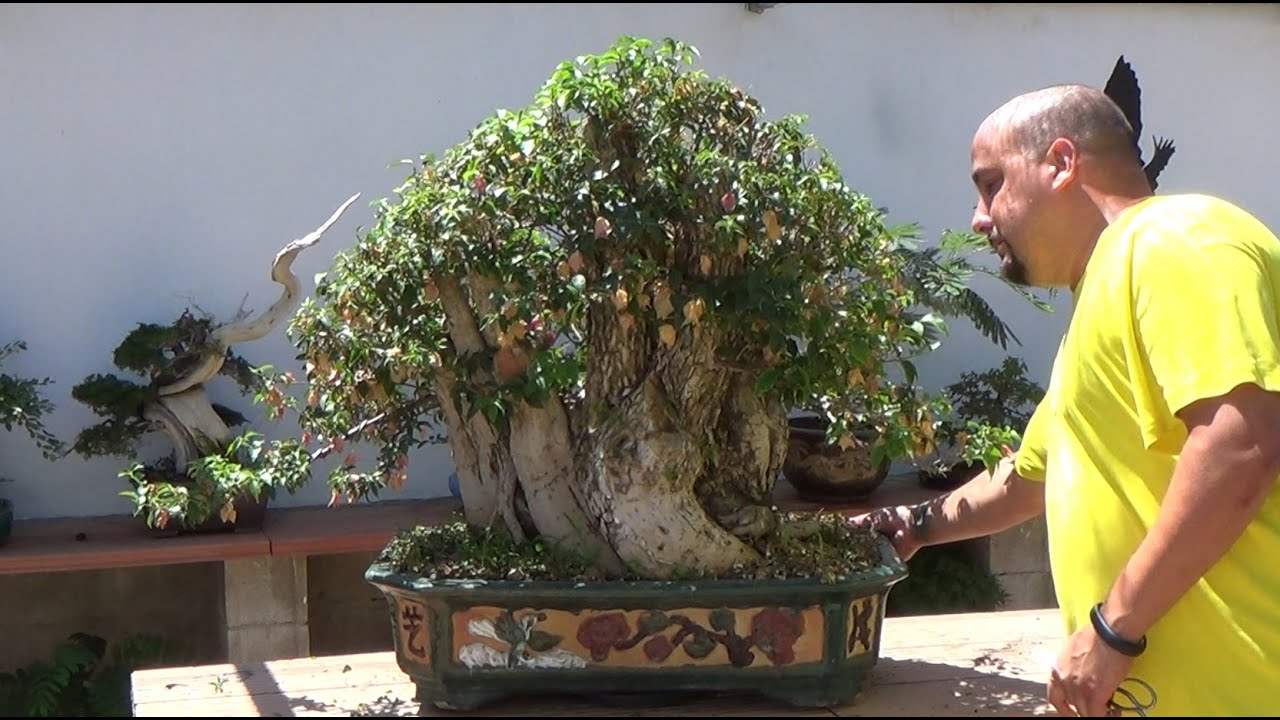 C mo mantener una buganvilla bonsai youtube - Como cuidar un bonsai ...