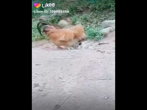 Download funny | cat and hencock fight