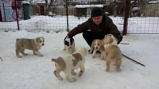Продаются щенки САО алабай, Харьков, 0678555157