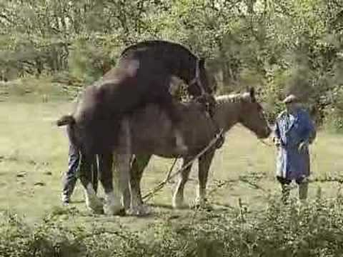 Draft horse breeding - YouTube