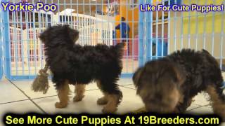 Yorkie Poo, Puppies, For, Sale, In, Des Moines, Iowa, Ia, Bettendorf, Marion, Cedar Falls, Urbandale