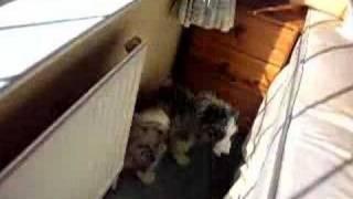 Border Collie Puppies First Bath