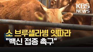 """소 브루셀라병 잇따라 축산농가 고통...""""백신…"""