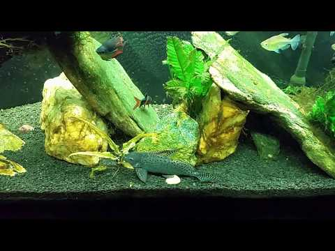Using Clove Oil To Euthanize My Snakeskin Gourami