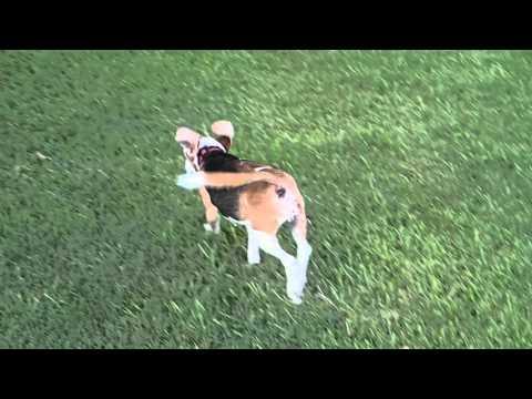 15 yo Beagle Hound Dog Minnie gets FRISKY after swimming & runs around Rummy's private dog park