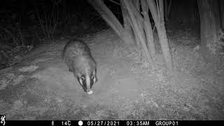 The badger and the egg