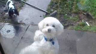 Dogs: Bichon Frise And Cavalier King Charles Spaniel