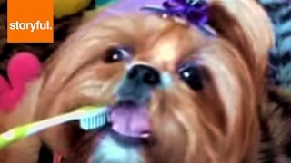 Adorable Shih Tzu Learns How To Brush Their Teeth (storyful, Dogs)