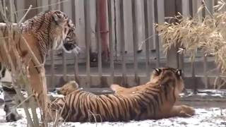 Спаривание животных, Big Cat Couples Mating Lion Tiger Breeding, размножение животных